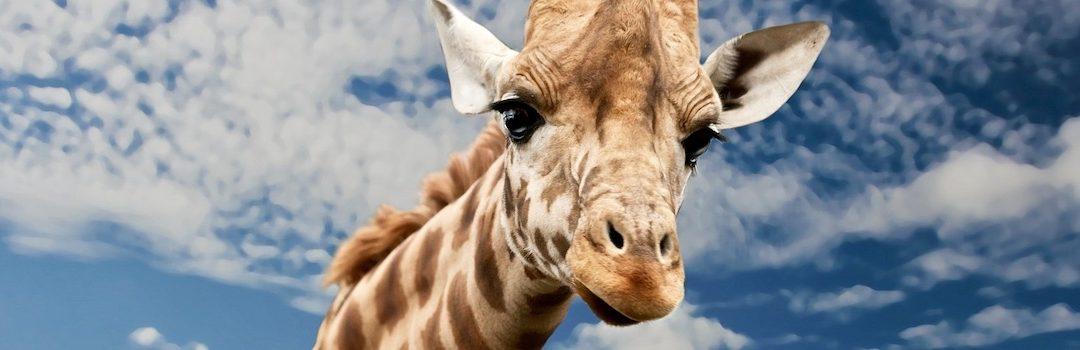 Giraffe Kissed Keeper
